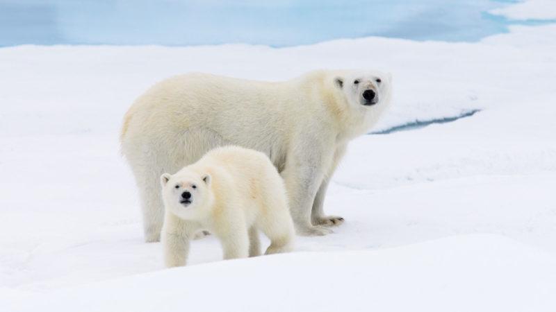 Rencontre avec les Ours Polaires dans la baie d'Hudson